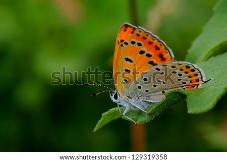 Butterfly - Large Copper (Lycaena dispar)