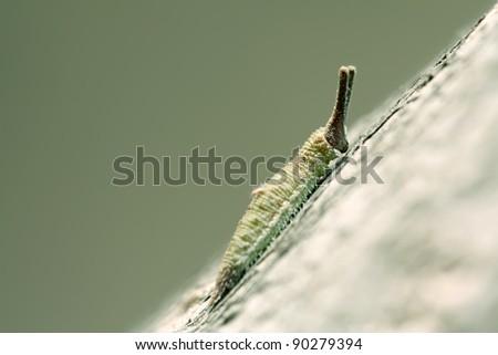 butterfly larva - caterpillar in a tree