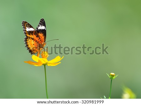 Butterfly (Leopard Lacewing) and flower in nature
