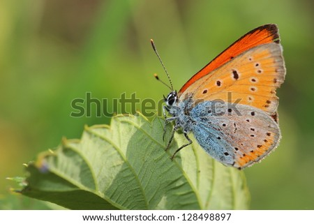 Butterfly - lesser fiery copper on leaf. Macro