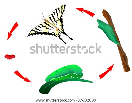 Butterfly life cycle. Schematic. From caterpillar to butterfly. Metamorphosis. Scarce Swallowtail