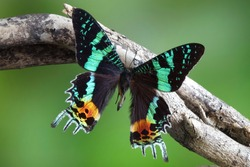 Butterfly : Madagascan Sunset Moth (Chrysiridia rhipheus), World's most impressive coloful  and beautiful with iridescent parts of the wings. Selective focus, blurred green background. Butterfly/Moth