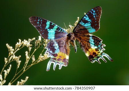 butterfly   madagascan sunset...