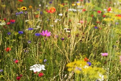Butterfly meadow with wildflowers and wild native herbs at sunset