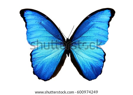 Photo of  butterfly Morpho didius