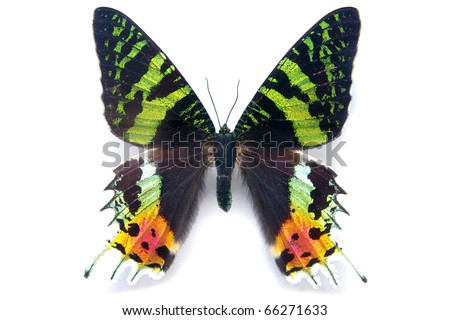 butterfly moth Chrysiridia rhipheus on white background. From Madagascar