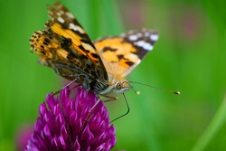 butterfly on a flower. beautiful lady butterfly Vanessa cardui, red clover, close-up. orange-black and white butterfly on a pink clover flower on a green background. macro nature