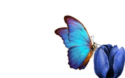 butterfly on a flower. colorful blue morpho butterfly on a blue tulip in drops of water. copy space