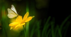 Butterfly on blurred nature dark background in garden , Closeup white butterfly on yellow flower, Natural background concept