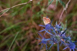 Butterfly on Eryngium amethystinum, also called amethyst eryngo, or Italian eryngo or amethyst sea holly