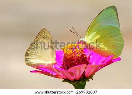 butterfly on flower ,Catopsilia pomona The Lemon Emigrant,outdoor in nature,The butterfly was gathered flowers,outdoor in nature