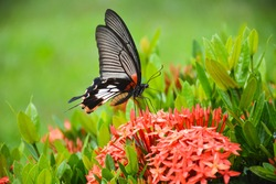 butterfly on flower(Great Mormon,Papilio memnon agenor Linnaeus)