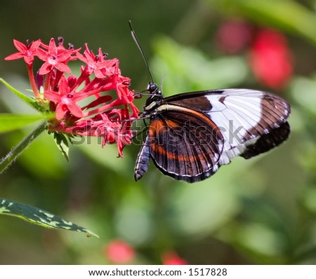Butterfly on Flower in Costa Rica