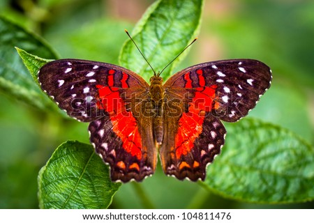 Butterfly on leaf closeup (Red lacewing)