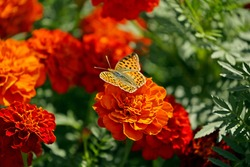 Butterfly on orange red marigold or tagetes flowers and leaves background pattern in garden. Close-up marigold flowers (Tagetes erecta flower). Floral marigold background pattern tagetes summer card