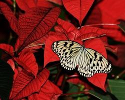 Butterfly on Poinsettia