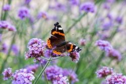 Butterfly on purple flowers in the sunlight