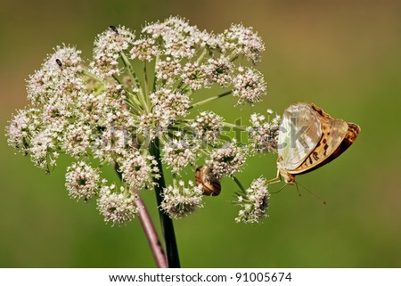 Butterfly on white flower. Close up of orange butterfly that is standing on the white flower of elderberry that is growing on the meadow. - stock photo