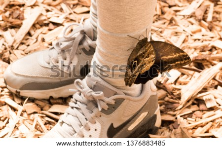 Butterfly owl. Caligo Hübner. Dark butterfly Brown krill with a dark circle and light border. Big Brown Butterfly on child`s sneakers