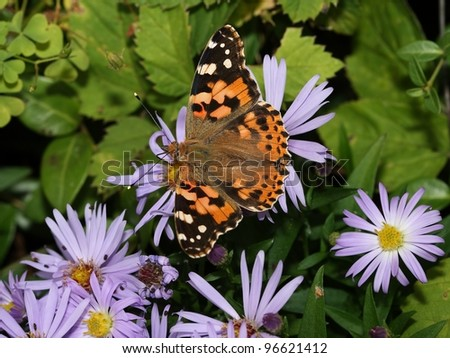 Butterfly Painted Lady (Vanessa cardui) drinking from flowers.