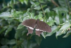 Butterfly. Papilio polytes, the common Mormon, is a common species of swallowtail butterfly widely distributed across Asia.