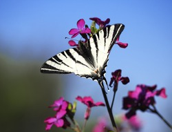 Butterfly papolio machaon flyong at the purple flower blossom at the blue sky background back view