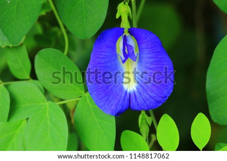 Butterfly pea,bluebellvine, blue pea, cordofan pea (Clitoria ternatea) ,The flowers of this vine were imagined to have the shape of human female genitals.