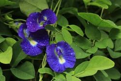Butterfly pea, Clitoria ternatea flower