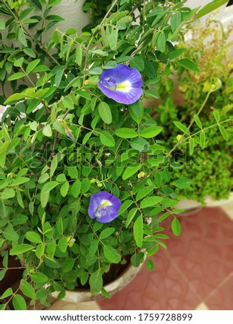 Butterfly Pea Flower - Aparajita Plant - Clitoris Ternatea