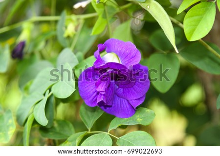Butterfly pea flower, Asian pigeonwings, bluebellvine, blue pea, cordofan pea and a is a plant species belonging to the Fabaceae family. The flowers of this vine have the shape of human female genita