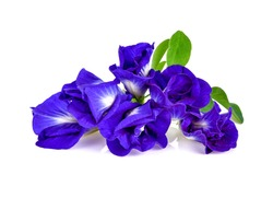 Butterfly pea flower on white background