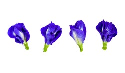 Butterfly pea flower on white background. top view