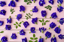 Butterfly pea flower or blue pea, clitoria ternatea and green leaf pattern texture background.