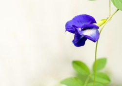 Butterfly pea flower with green leaf.