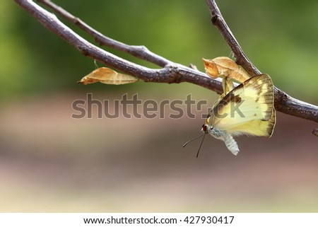 Butterfly perched on a pupa #427930417