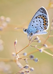 Butterfly, polyommatus icarus, common blue on a flower in the sunshine