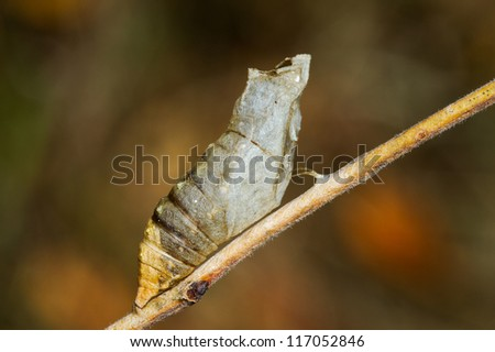 butterfly pupa after being abandoned by adult