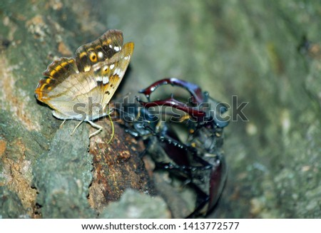 butterfly purple emperor and stag beetles. stag beetles in an oak forest. pair of stag beetles. #1413772577