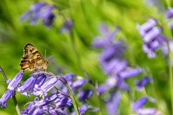 Butterfly resting on bluebell flower in early spring