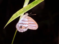 Butterfly roosting at night in the rainforest understory, Napo province, Ecuador