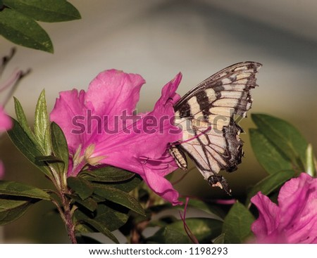 Butterfly searching for nectar within an Azalea bloom