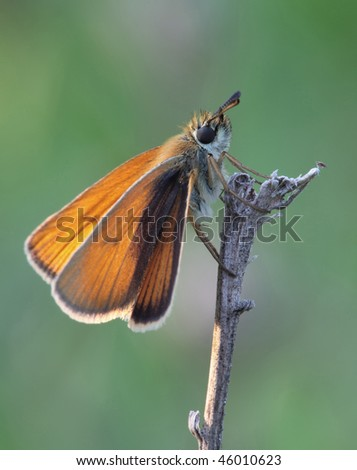 Butterfly sits on a branch. Insecta / Lepidoptera / Hesperiidae / Thymelicus sylvestris