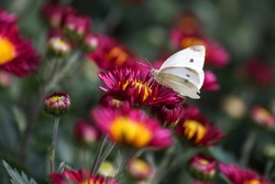 Butterfly sits on a chrysanthemum. Beautiful crimson chrysanthemums are blooming in the garden.