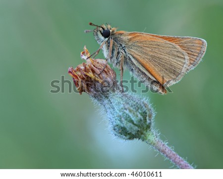 Butterfly sits on a  flower. Insecta / Lepidoptera / Hesperiidae / Thymelicus lineola