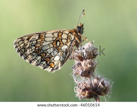 Butterfly sits on a flower. Insecta / Lepidoptera / Nymphalidae /Mellicta athalia (Rottemburg, 1775)