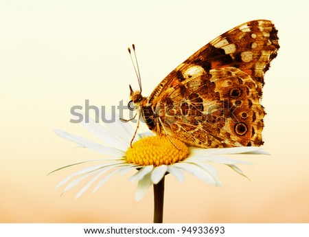 Butterfly sitting on  camomile