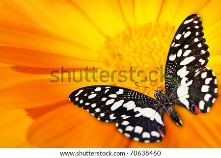 Butterfly sleeping on an orange flower