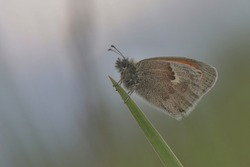 Butterfly Small heath on green background. (Coenonympha pamphilus) . Widlife scene from nature