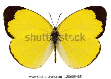 "Butterfly species Eurema alitha ""grass yellow"" in high definition extreme focus isolated on white background"