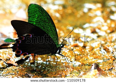 Butterfly species found in Thailand